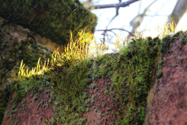 Self-colonising moss atop a garden boundary wall