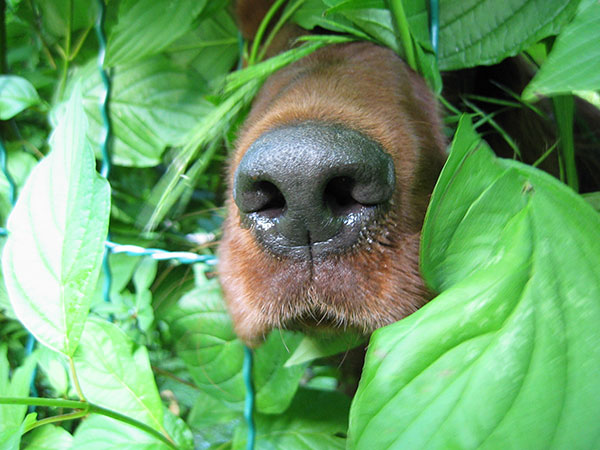 olfato do cachorro - aprenda a estimular o faro do cão
