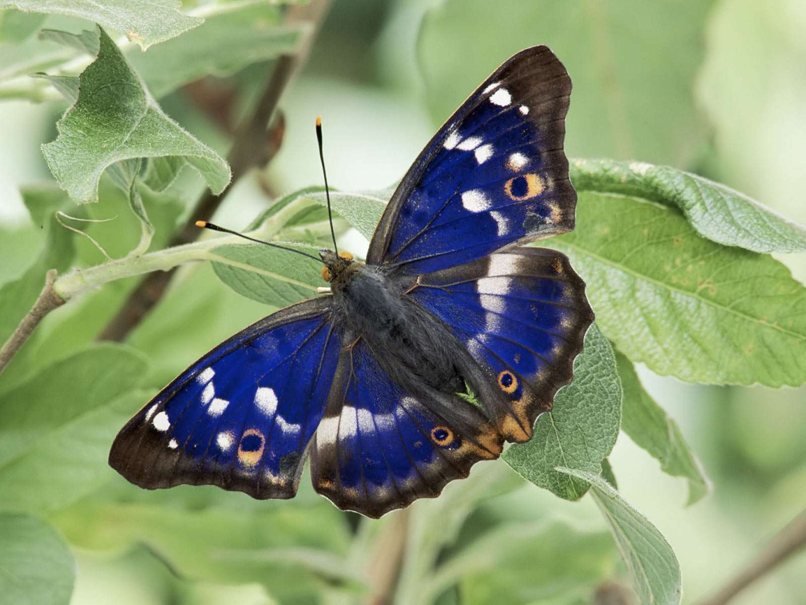 Farfalle: Delicata Farfalla Blu: Cyrestinae