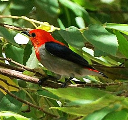 Cara Merawat Burung Kemade Cabe Cabean Kicauan Burung Burung Hias Makanan Burung Kicau Burung Latihan Burung Suara Burung Harga Burung Kicauan Burung