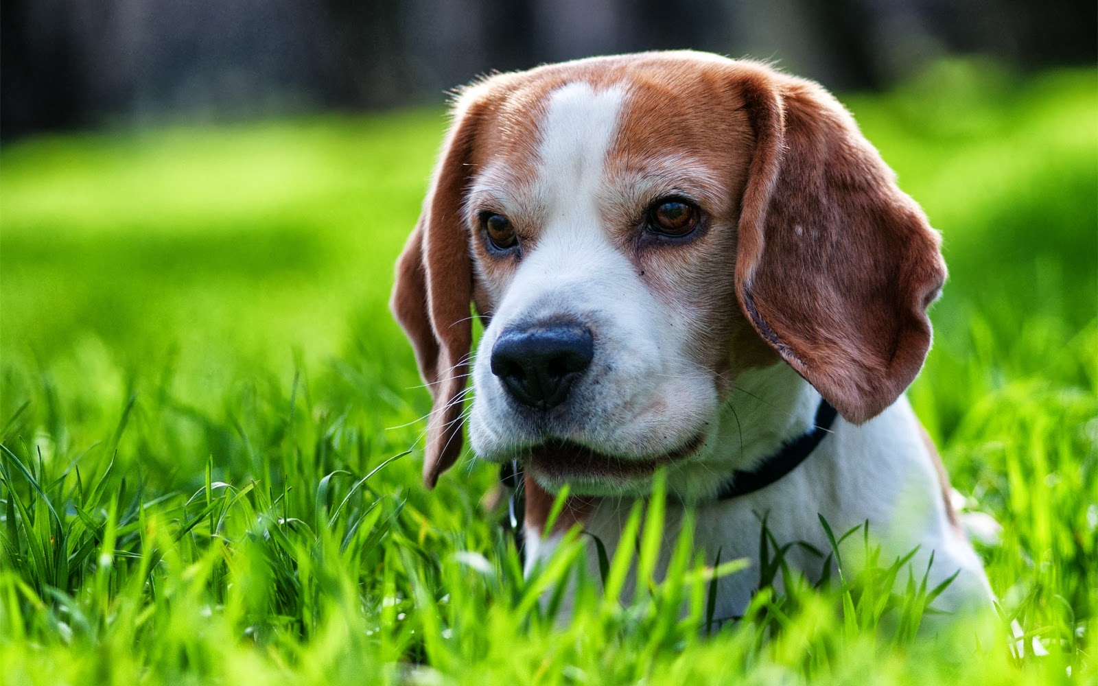 Cute Dog Wallpaper Backgrounds Beagle Puppy Cute Mystery Wallpaper