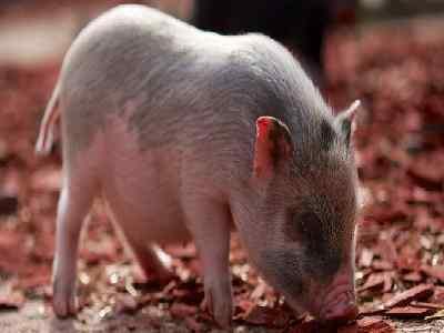 Pet Animals Name pig