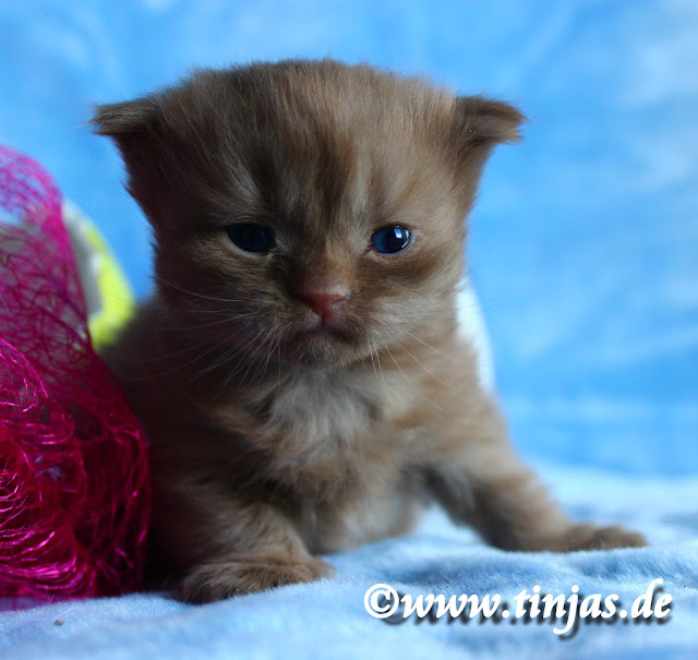 Tinjas Cattery : Scottish Fold Longhair Highland Fold