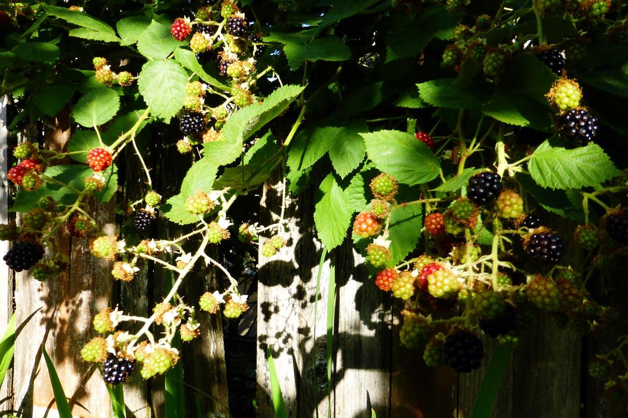 blackberries, blackberry, summer blackberries, summer blackberry
