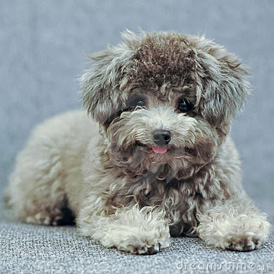 poodle toy chocolate – Pesquisa Google – PUPPIES FOR SALE |Cute Poodle Puppies