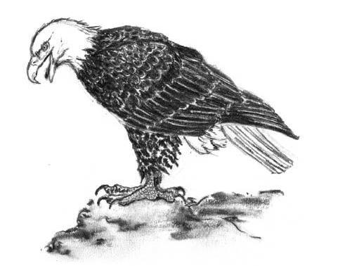 large eagle illustration