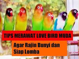Tips Perawatan Lovebird Muda Agar Rajin Bunyi dan Siap Lomba