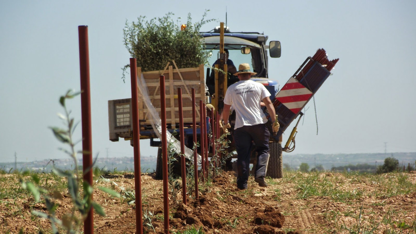 Realización de plantación de olivos con máquina y clavado final con martillo