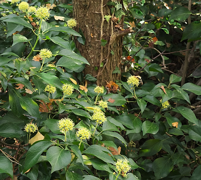 Ivy flowers wreathed around tree trunk