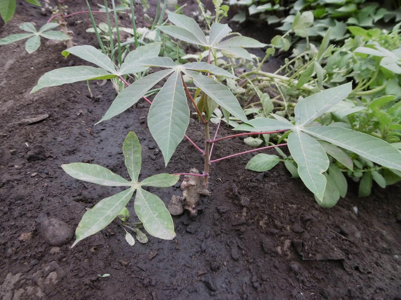 Alternativa ecol gica como obtener plantas de yuca for Yuca planta de exterior
