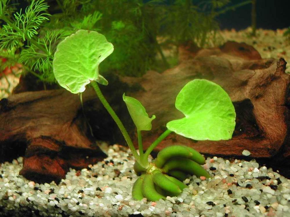 Cây trang chuối trong hồ thủy sinh