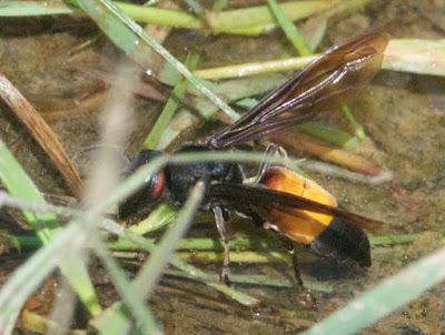 Lesser banded hornet (Vespa affinis)