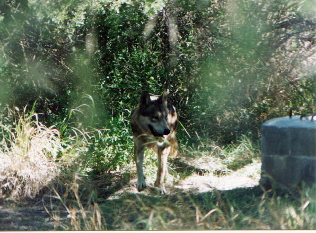 Rehabilitación Del Lobo Gris En Proceso: CARTA MILLAN