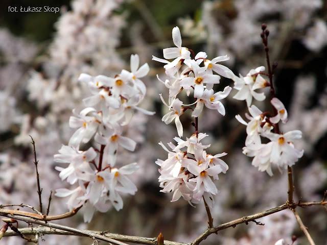 biała forsycja w ogrodzie