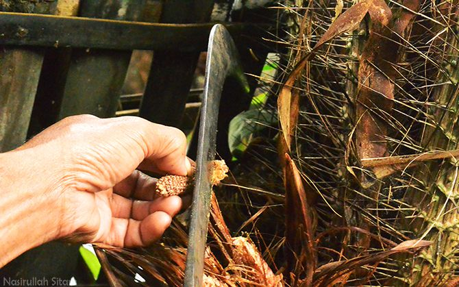 Proses pengawinan Bunga Salak Jantan ke Bunga Salak Betina
