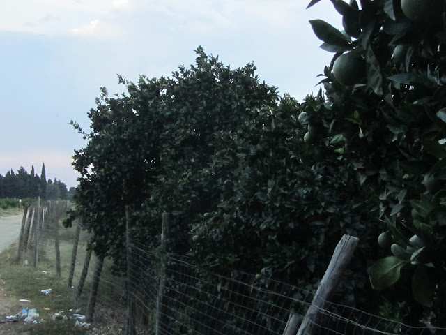 Aranceto Calabria estate