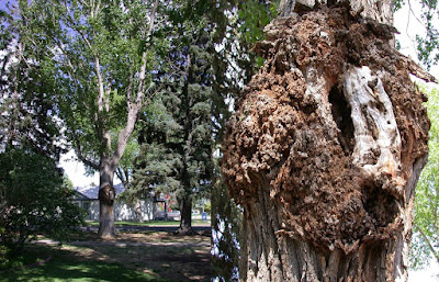 Image of a large bacterial gall on a tree trunk
