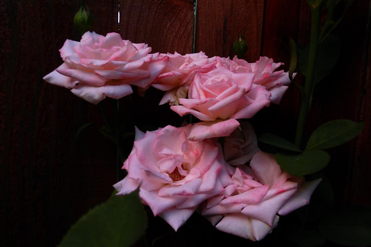 roses, rose, pink roses, pink rose, summer rose