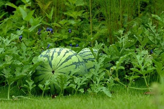 Metode budidaya semangka yang benar