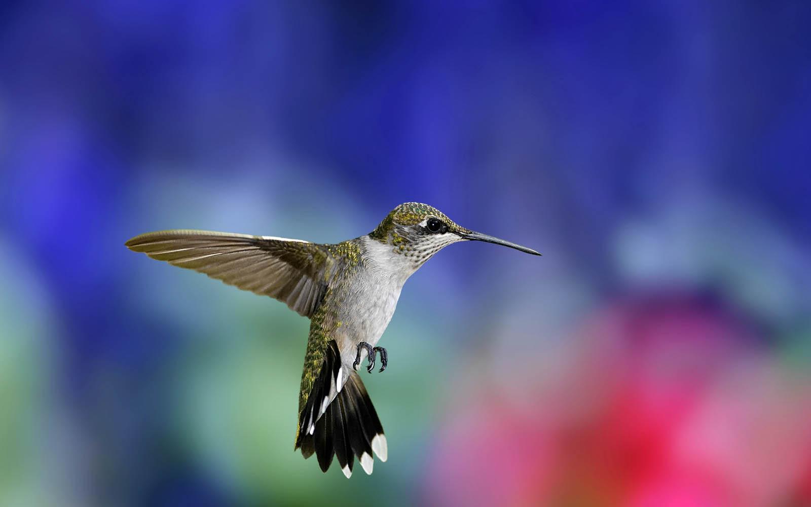 Wallpapers hummingbird wallpapers for Foto spettacolari per desktop
