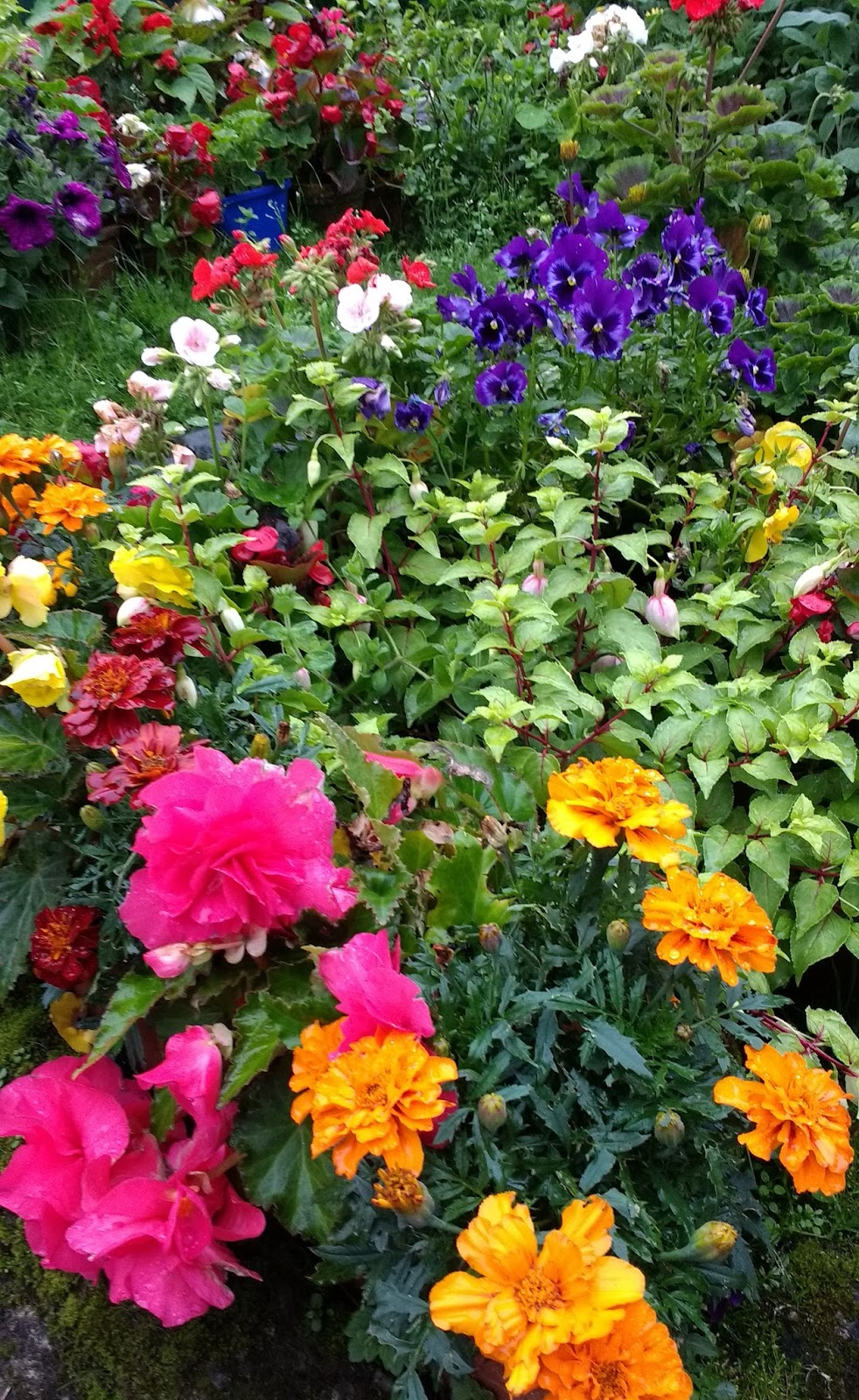 Gardening matters hardy annuals for Hardy plants for the garden