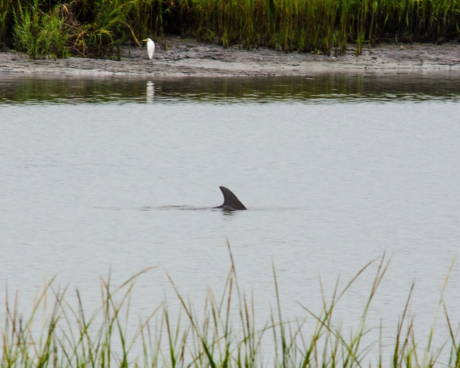 Common Bottlenose Dolphin South Carolina