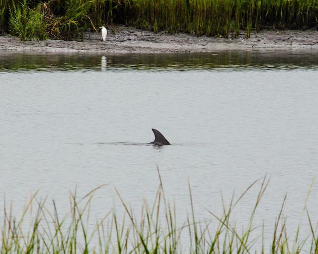 Common Bottlenose Dolphin South Carolina