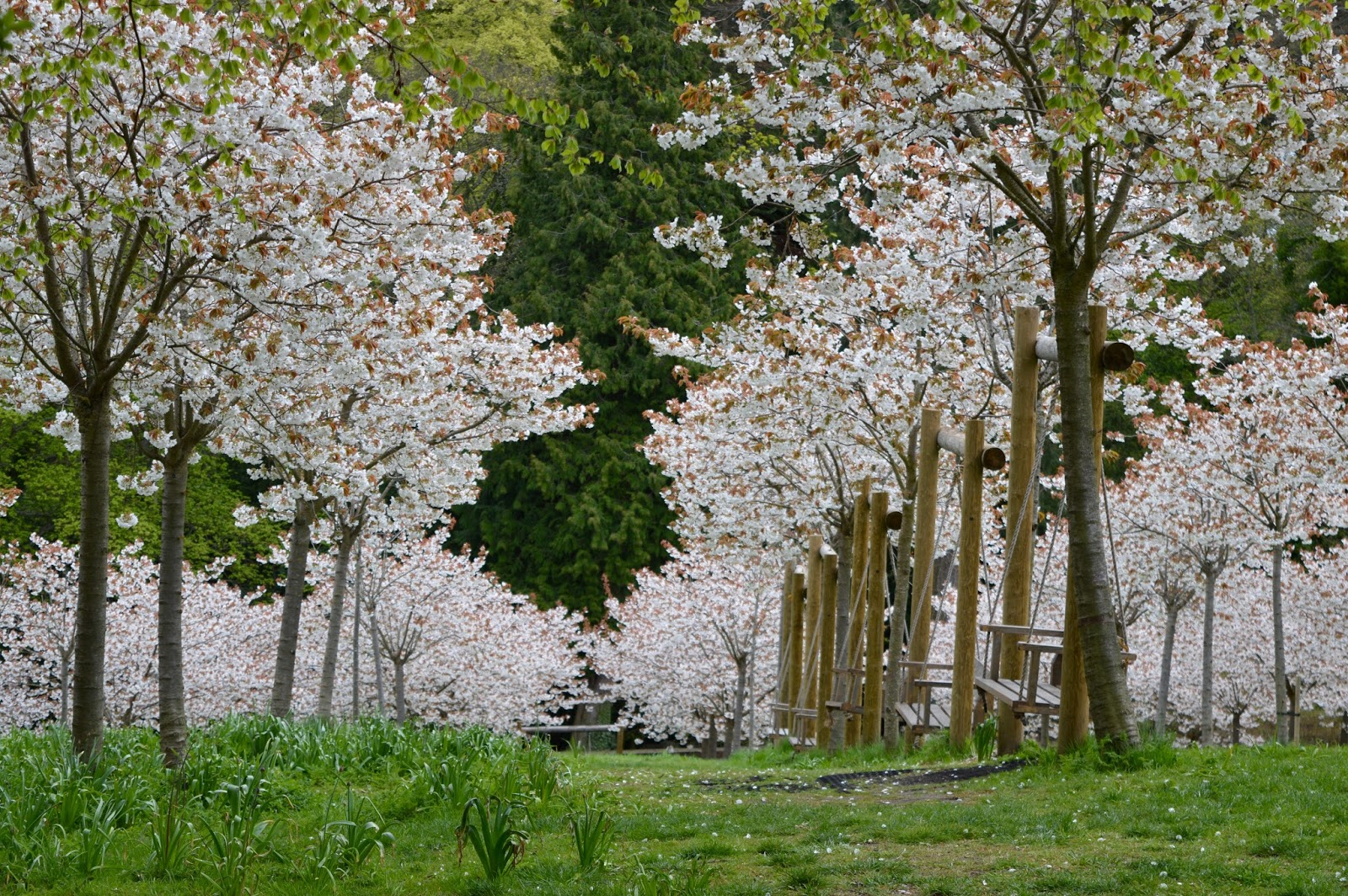 The Cherry Blossom Orchard at The Alnwick Garden - pink blossom