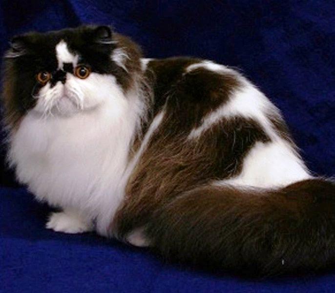 Adult Persian 104