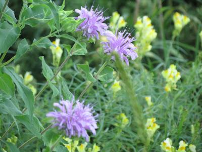 Purple and yellow prairie wildflowers at the Laura Ingalls Wilder Museum