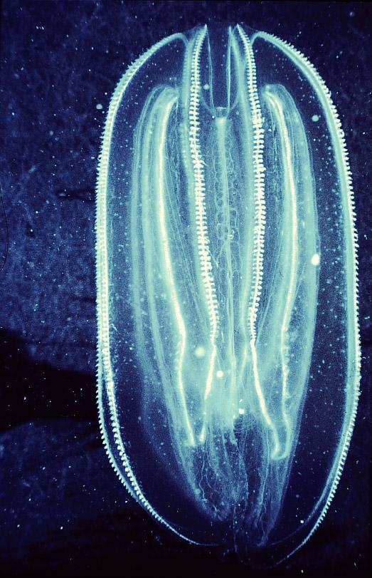 Comb Jellies Aquatic Animals