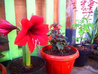 Bunga Bakung Merah Kawanimut