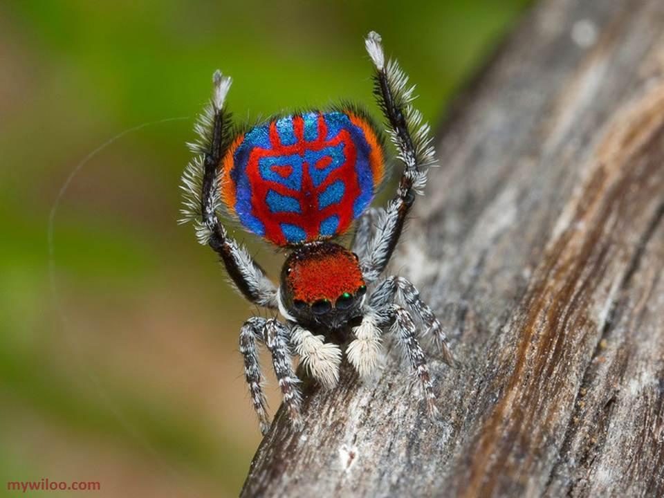 العلماء يكتشفون 7 أنواع جديدة من عنكبوت الطاووس الراقص !