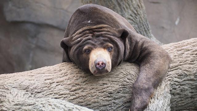 medved na drvetu