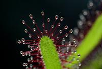 rosiczka przylądkowa
