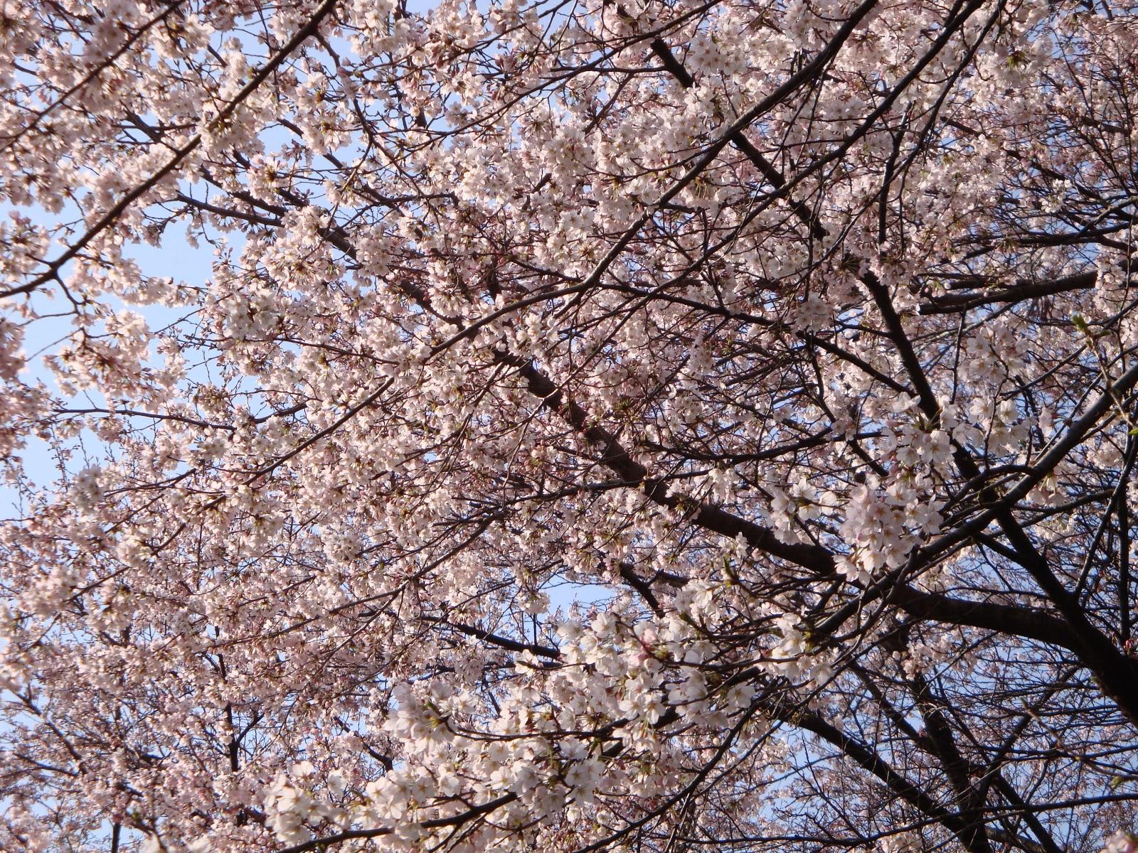 満開の桜並木に少し近付いた