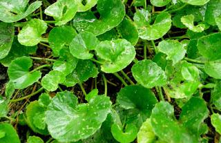 Manfaat tumbuhan (daun) pegagan untuk kesehatan