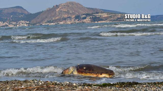 Θανάσιμα χτυπημένη χελώνα Καρέτα - καρέτα στον Αργολικό (βίντεο)
