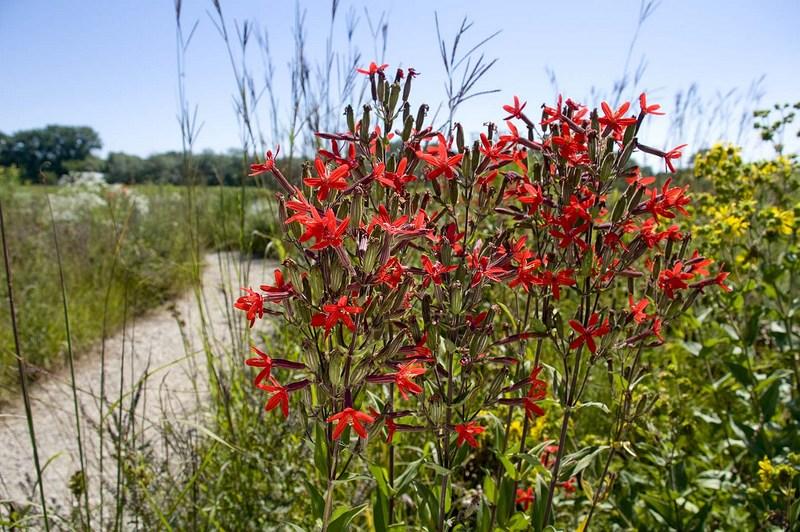 Dixon Prairie. Pradera de plantas autóctonas en el Jardín Botánico de Chicago
