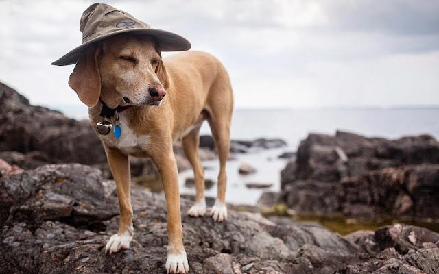 Hond met hoed