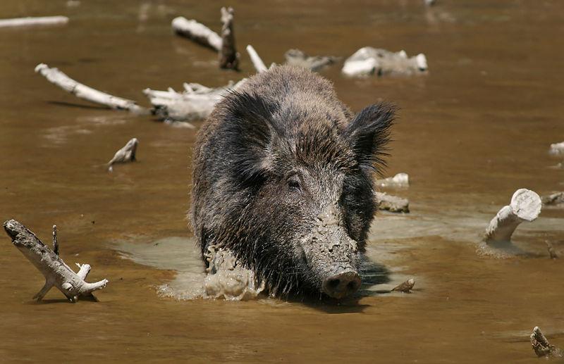 Mammals Animals: Wild Boar Habbitat 3