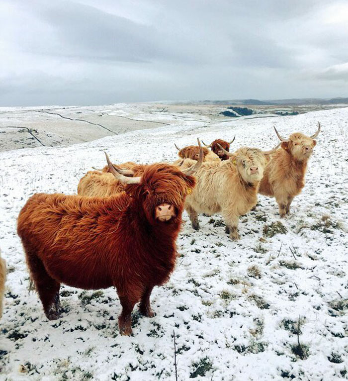 32 Animals That Look Like They're About To Drop The Hottest Albums Of The Year - These Cows Look Like They're About To Drop The Hottest Indie Rock Album Of The Year