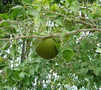 बिल्व (बेल ) फल