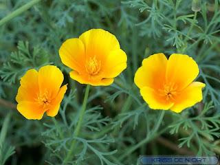 Pavot de Californie - Eschscholzie - Eschscholzia californica