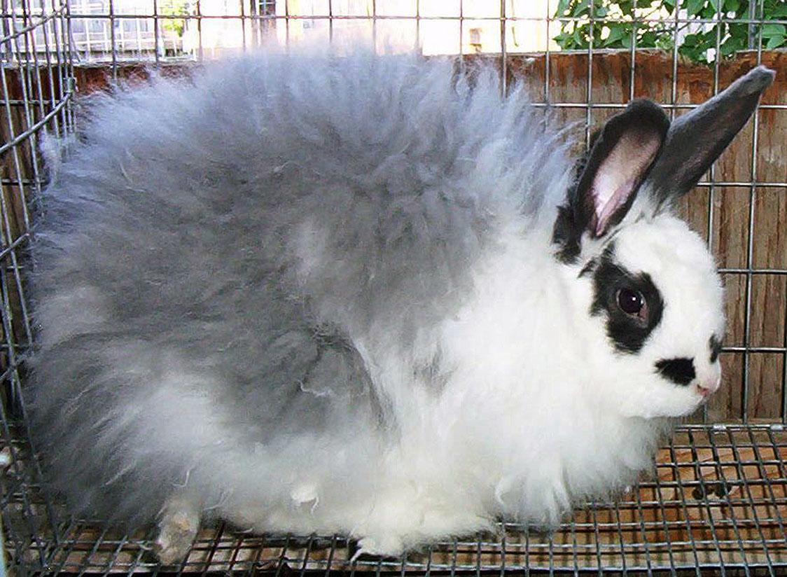 Aboicheney Angora Rabbits What The