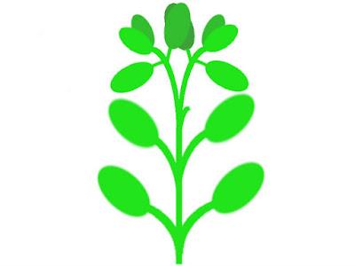 ハイグロフィラなどの対生の水草模式図(さらに生長しトリミング跡が目立たなくなる)