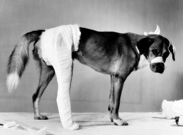 Chó bị gãy xương