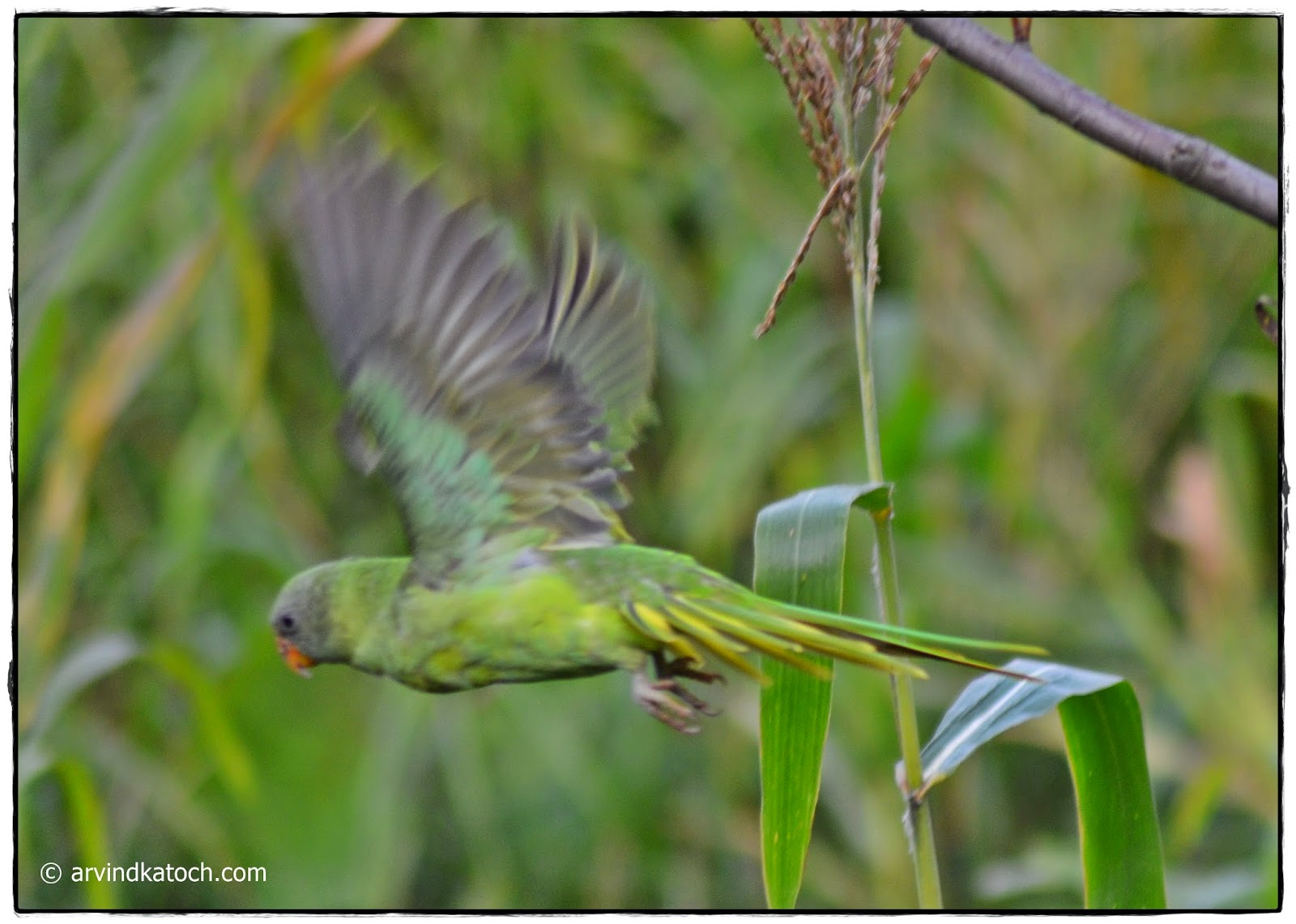 Flying, Slaty-headed Parakeet