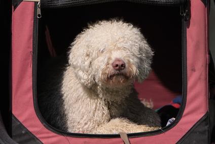 hunde f r allergiker nicht haarende hunde spanischer wasserhund. Black Bedroom Furniture Sets. Home Design Ideas
