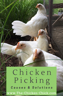 Chicken Picking Causes and Solutions